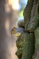 &quot;Peekaboo&quot;_Grey_Squirrel_1